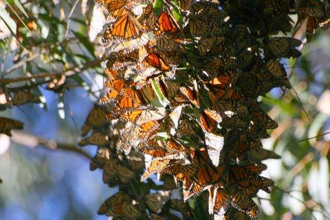 Monarch Butterflies - Santa Cruz, CA (1/6)