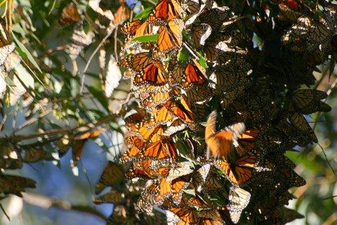 Monarch Butterflies - Santa Cruz, CA (3/6)