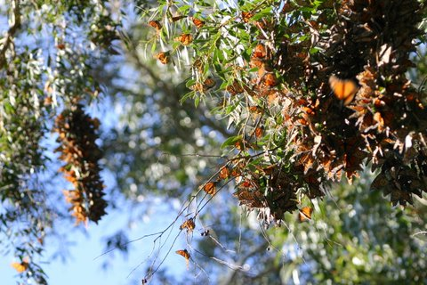 Monarch Butterflies - Santa Cruz, CA (4/6)