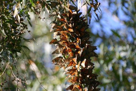 Monarch Butterflies - Santa Cruz, CA (5/6)